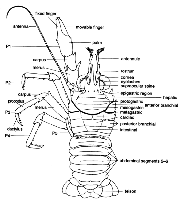 Posterior Forearm Muscles Muscles Forearm Anterior Posterior View Stock Illustration moreover Thalamic Connections Mnemonic together with 14 also Index in addition 8774912. on anterior and posterior body diagram